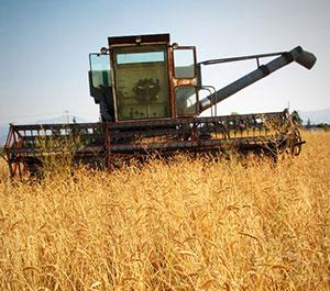Combine in Wheat at Dunbar Farms