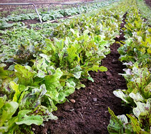 Flashy Troutback Lettuce of Dunbar Farms